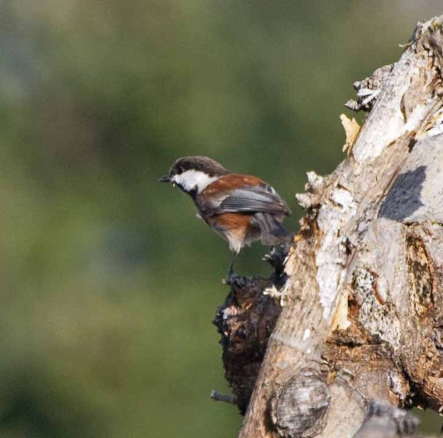 chestnut-backed chickadee 4
