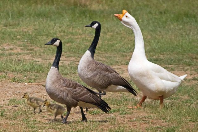 three geese with goslings 1
