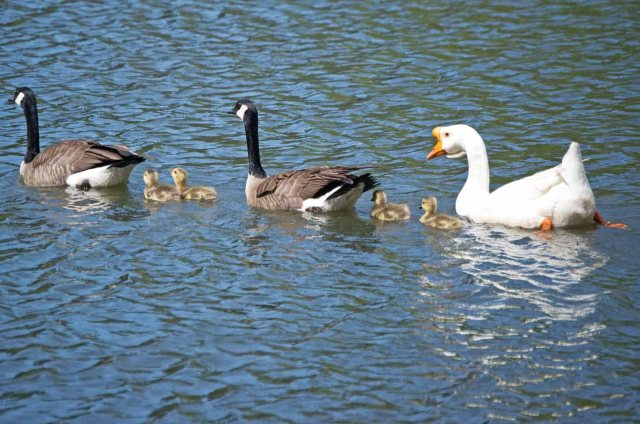 three geese with goslings 2